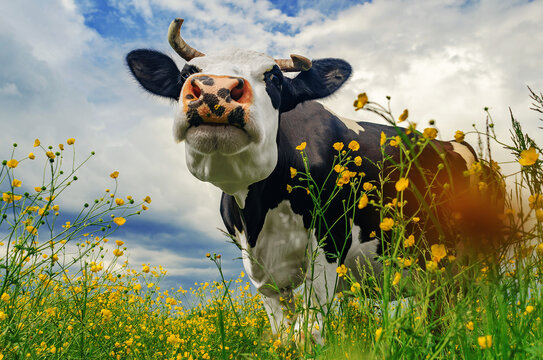 portrait of a cute black and white cow on a pasture with yellow flowers on a background of blue sky with white clouds. Looking at the camera