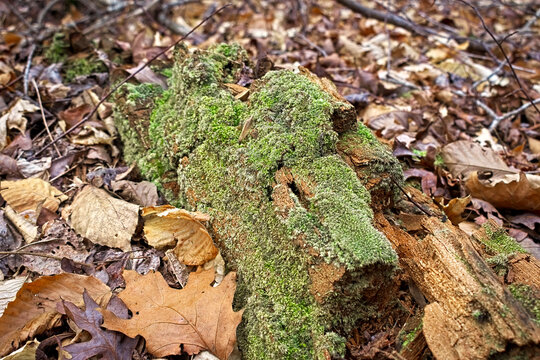 Decaying log on the ground of the Chattahoochee National Forest Mountains in autumn on the Pinhoti Trail at Taylor's Ridge in North Georgia