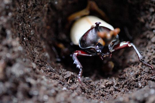 誕生したカブトムシのオス