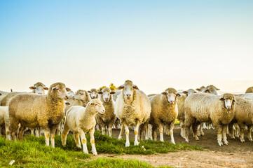 Obraz Merino sheep ready to be slaughtered on eid ul adha - fototapety do salonu
