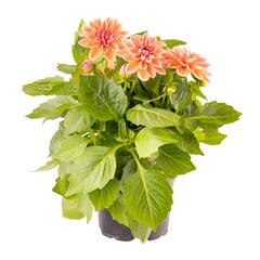Obraz Blooming dahlia flower - fototapety do salonu