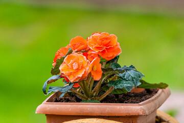 Fototapeta Kwiaty w doniczce obraz