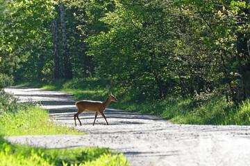 Obraz Sarna w lesie przechodzi przez drogę - fototapety do salonu