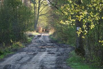 Fototapeta Dzikie zwierzęta przechodza przez drogę w zielonym lesie obraz