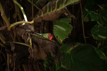 Fototapeta Zielono czerwony kameleon na tle tropikalnych roślin. obraz