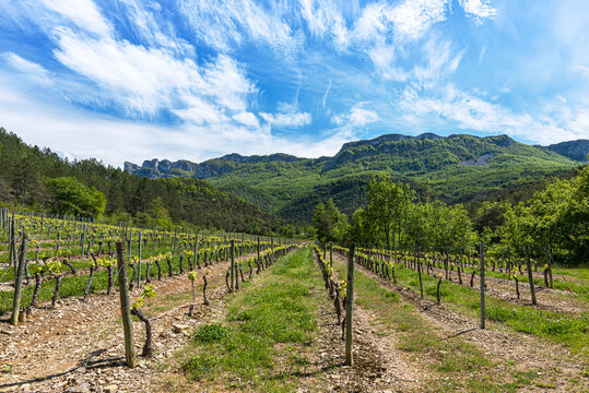 Famous Clairette sparkling wine vineyards near the french Die village with Vercors mountains on the background.