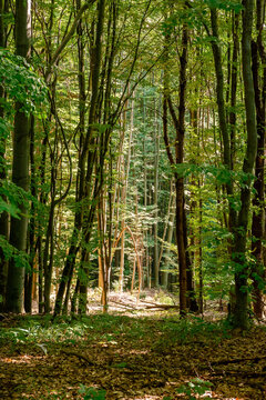 beech forest in summer. bright nature outdoor on a sunny day. tall trees in green foliage