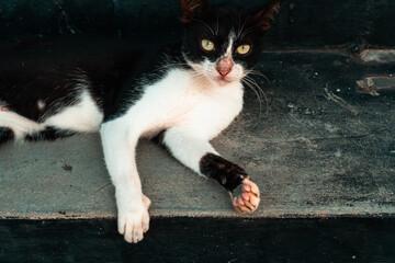 Obraz Czarno biały piękny kot na ulicy. - fototapety do salonu