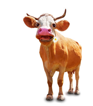 Funny image of the cow with focus on head
