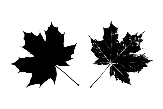 Black leaves silhouette isolated on white background. Realistic foliage. Canadian maple. Stencil plant. Vector illustration, EPS 10.