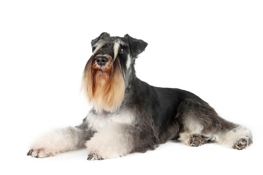 miniature schnauzer terrier isolated on white background