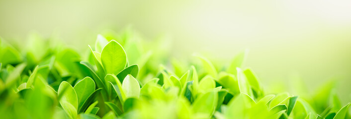 Fototapeta Closeup of beautiful nature view green leaf on blurred greenery background in garden with copy space using as background cover page concept. obraz
