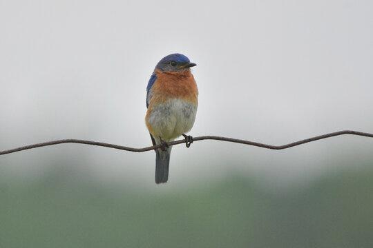 Bluebird on a wire