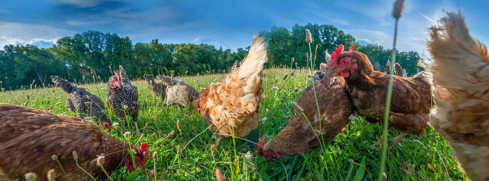 brown and grey hen in the garden