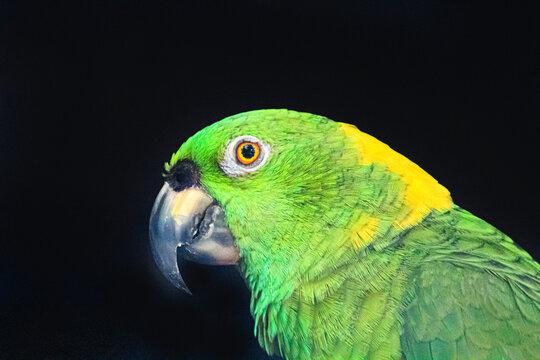 Lora verde y amarillo