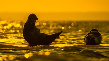 Fototapeta Foka nad Morzem Bałtyckim  obraz