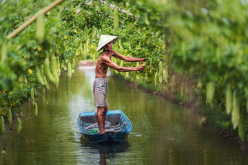 Fototapeta Vietnamese old man farmer Keeping the yield by standing over the tradition boat on the lake in gourd garden in vietnam style, An phu, An Giang province, Vietnam, Vegetable garden and farm concept obraz