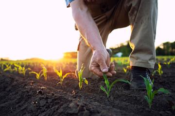 Fototapeta Unrecognizable field worker or agronomist checking health of corn crops in the field. obraz