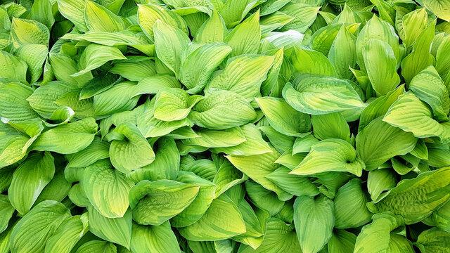 fresh green leaves of hosta, vegetative eco background