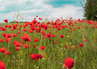 Obraz Pole z makami, piękny widok, krajobraz, czerwone maki, łąka, błękitne niebo, lato,  łąka kwiatowy, kwiaty polne  - fototapety do salonu