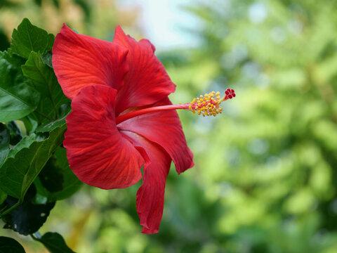 Closeup  red hibiscus flower in the garden