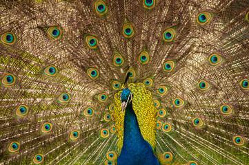 Obraz Piękny i w całej okazałości paw z przepięknym i malowniczym kolorowym ogonem z piór - fototapety do salonu
