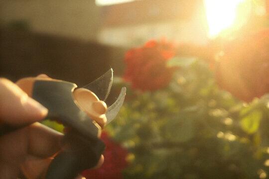 Rosen schneiden im Garten bei Sonnenschein