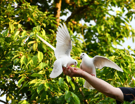 Weiße Tauben auf der Hand