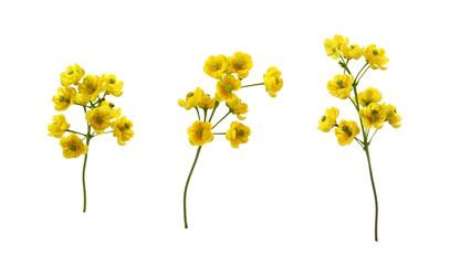 Fototapeta Set of small yellow flowers of berberis thunbergii isolated obraz