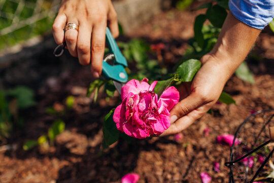 Woman deadheading William Shakespeare roses in summer garden. Gardener cutting dry flowers off with pruner.