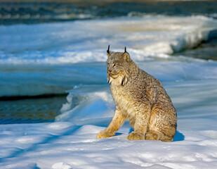 Canada lynx on frozen river