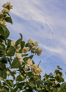 An English dogwood blossoming with the clear blue summer sky in the background