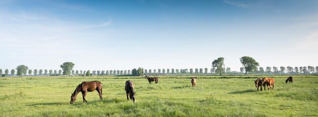 Fototapeta horses in green meadow near nijmegen in the netherlands under blue sky in summer obraz