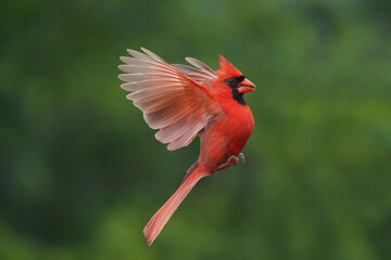 Northern Cardinal perching on branch or flying up to bird feeder for a bite of sunflower seeds