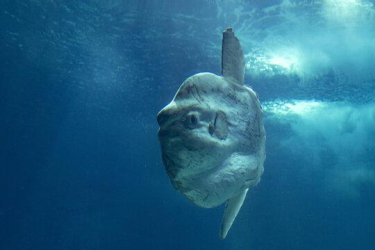 Sunfish mola mola underwater