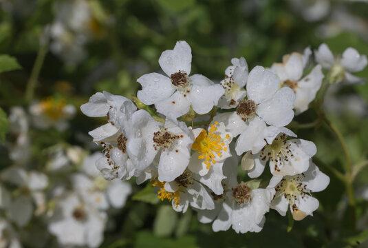 Weiße Rosenblüten im Makro.