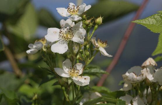 Vielblättrige weiße Rose.