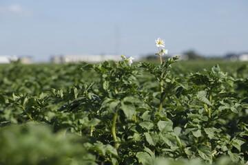 Obraz Kwiat ziemniaka uprawa pole - fototapety do salonu
