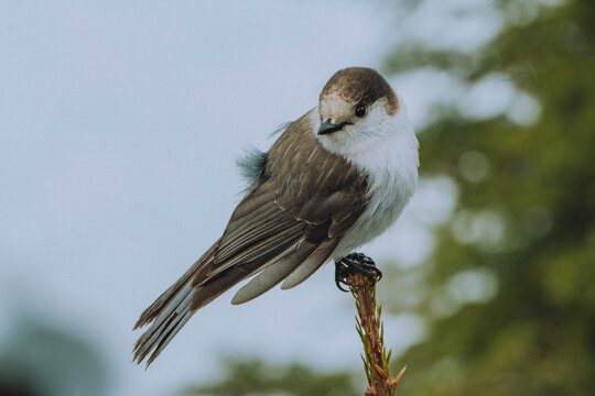 A Canada Jay bird perched on a branch in Mount Ranier National Park in the United States' Pacific Northwest.