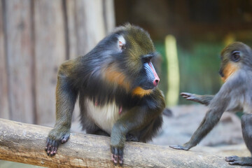 Mandrill with beautifully colored areas of the face