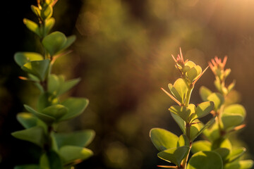 Fototapeta krzew berberysu w świetle zachodzącego słońca obraz