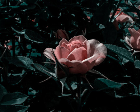 A single pale pink rose blossom in the bright summer light