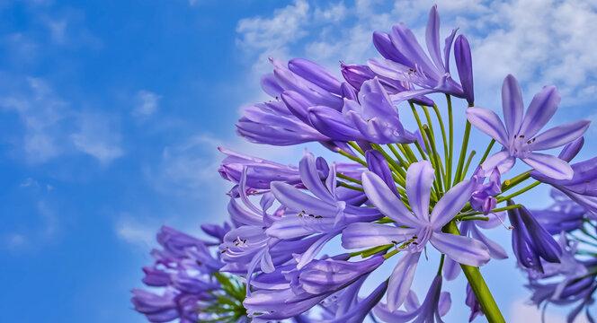 紫君子蘭(Agapanthus)