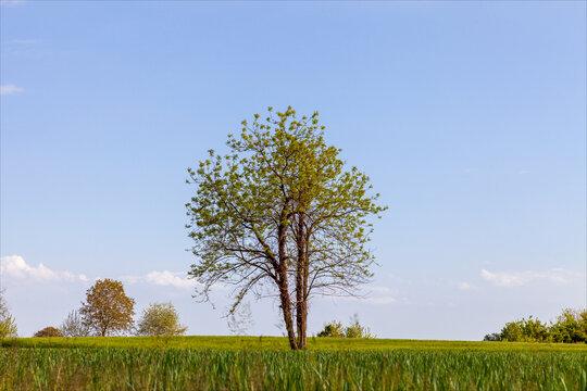 Albero verde solitario in un campo di grano ancora verde in una giornata estiva serena.