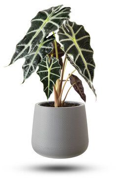 Alocasia Amazonica Sanderiana Plant in gray plastic pots isolated on white background.