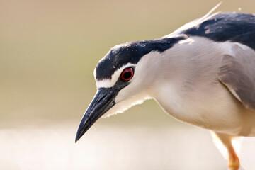Obraz Kwak, Black-crowned Night Heron, Nycticorax nycticorax - fototapety do salonu