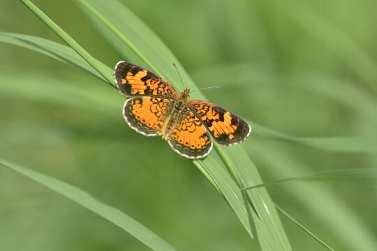 Pearl Crescent Butterly in grass