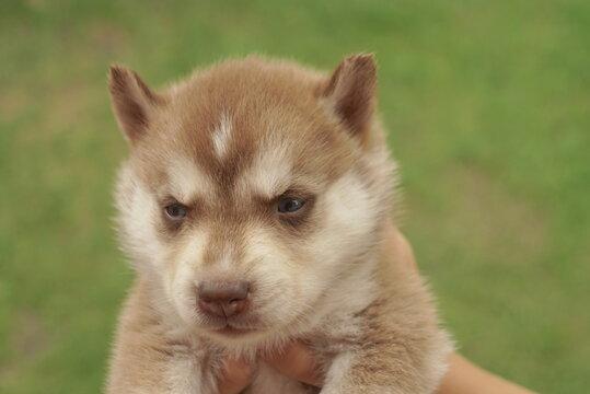 brown husky puppy close up