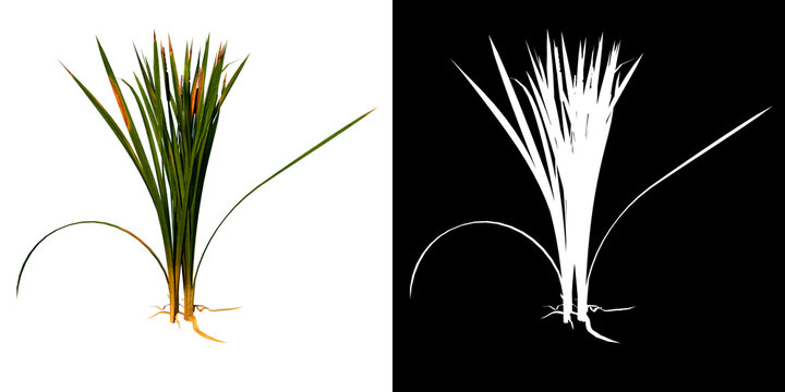 Front view of Plant ( bulrush reedmace reed cattail punks  2) Tree png with alpha channel to cutout made with 3D render