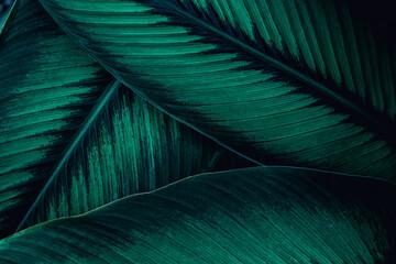 Fototapeta abstract green leaf texture, nature background, tropical leaf obraz